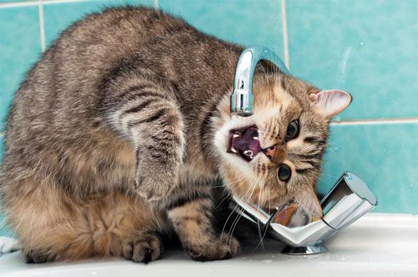 Кот пьет воду лапой почему